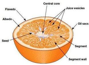 Anatomi Jeruk