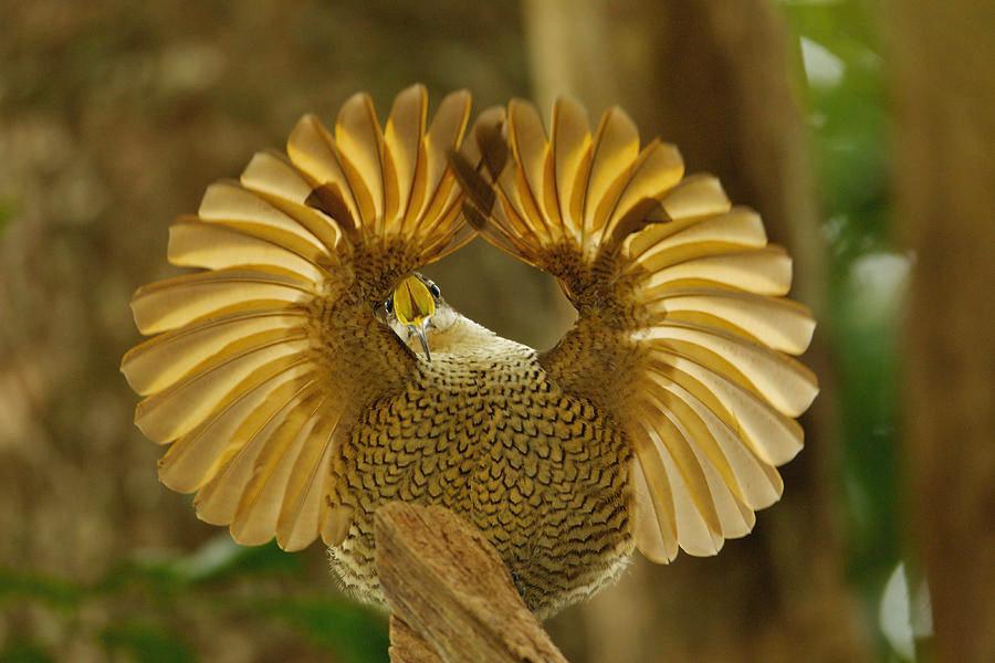 Riflebird Paradise