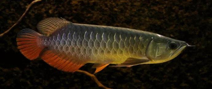 Unduh 980 Gambar Ikan Arwana Golden Red Terpopuler