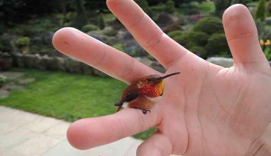 Apa Ciri Ciri Kolibri Ninja Yang Siap Gantang Atau Dilombakan Hewan Peliharaan Dictio Community