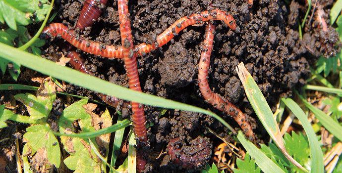 Cacing atau worm