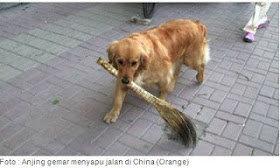 anjing menyapu