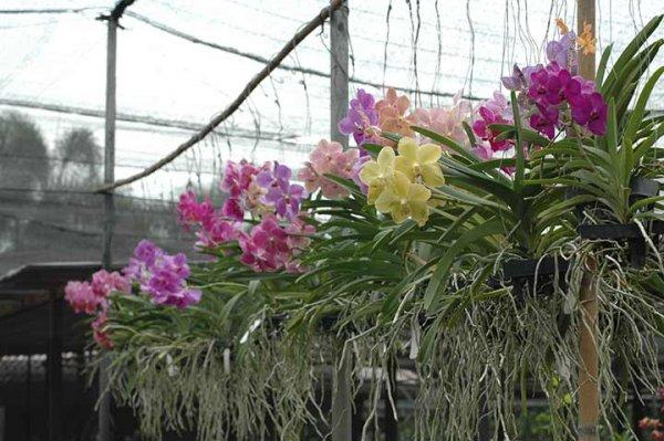 bunga-anggrek-di-kebun-600x399