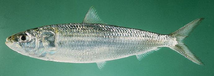 Ikan Lemuru