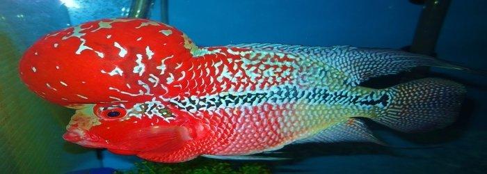 Bagaimana Cara Mencerahkan Warna Kulit Ikan Louhan Hewan Peliharaan Dictio Community