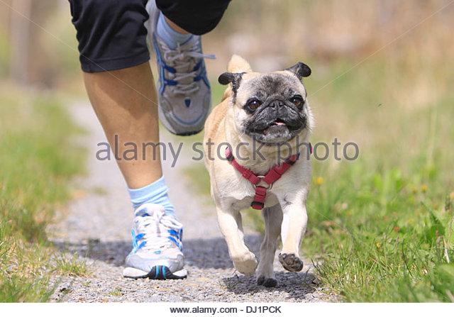 man-jogging-pug-dj1pck