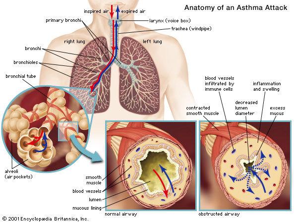 Anatomi Asma