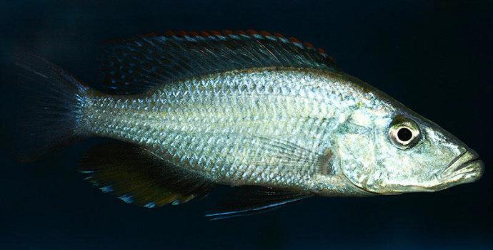 Ikan Malawi Eyebiter