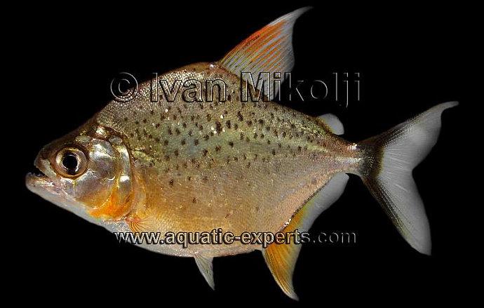 ikan piranha Pristobrycon Striolatus