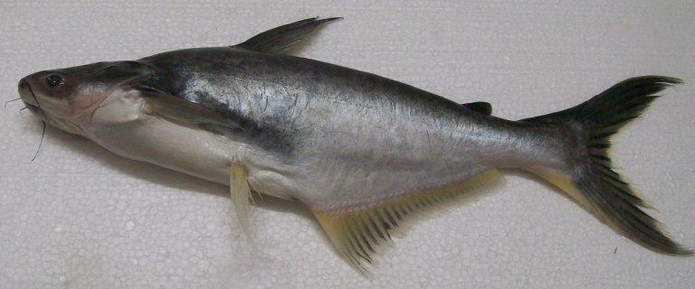 Ikan Jendil