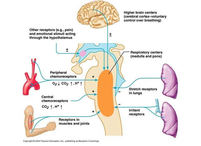 Kontrol terhadap pernafasan