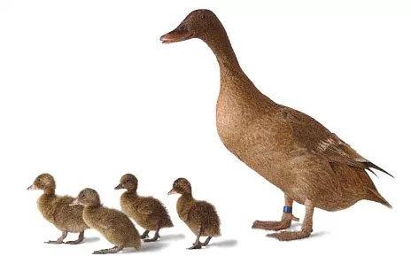 Bagaimana Mengatasi Bebek Yang Kurang Nafsu Makan Diskusi