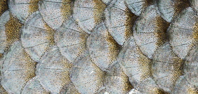 bentuk sisik pada ikan