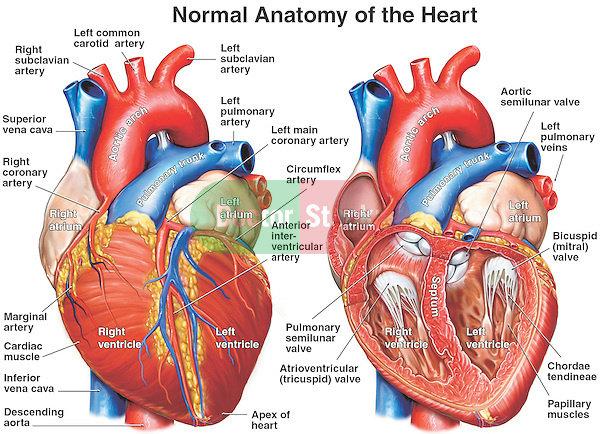 Anatomi Struktur Jantung