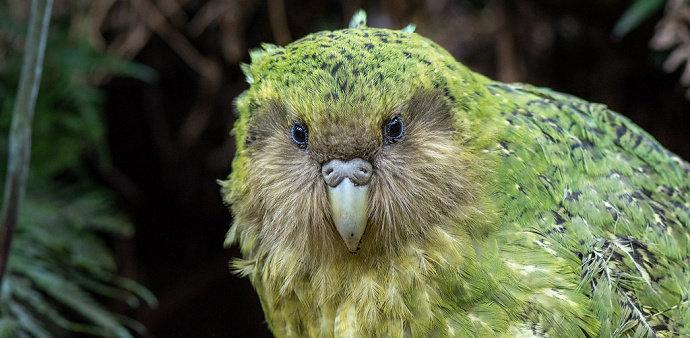 Burung Kakapo