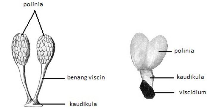 Perbungaan Sikonium pada Tumbuhan Ficus.
