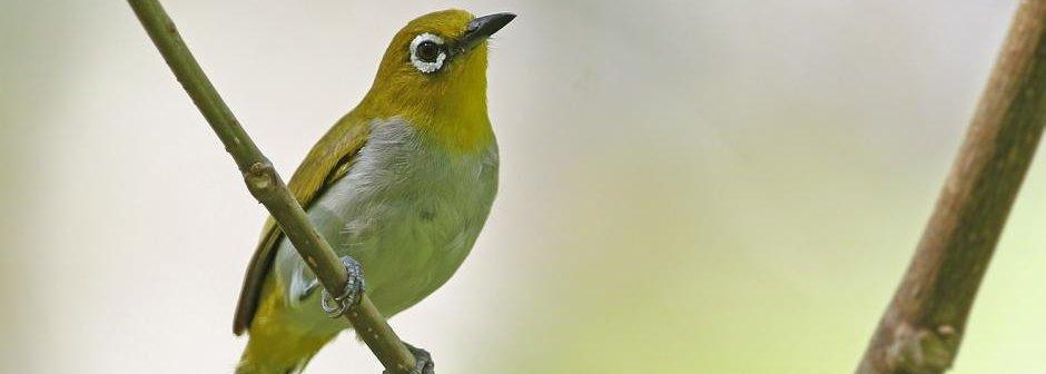 Burung-Kacamata-Sangihe