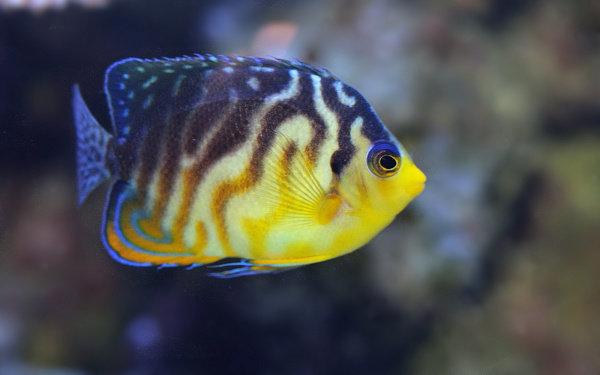 Ikan Neptune Grouper