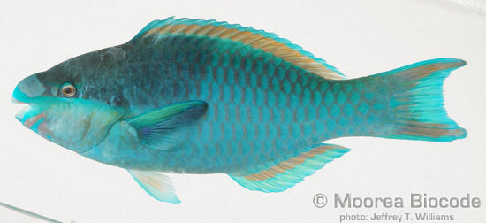 Scarus oviceps