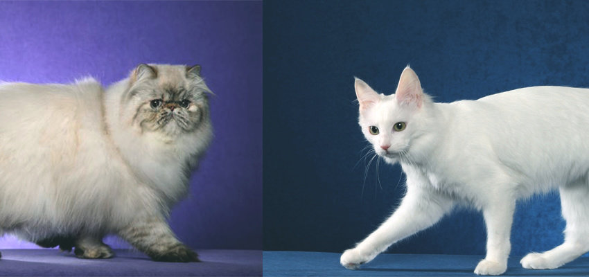 Apakah Perbedaan Kucing Anggora Dan Persia Hewan Peliharaan Dictio Community