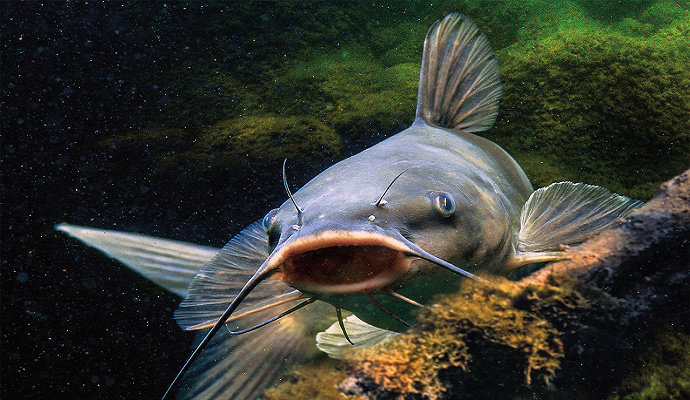 Apa Saja Ciri Ciri Ikan Lele Lokal Akuakultur Dictio Community