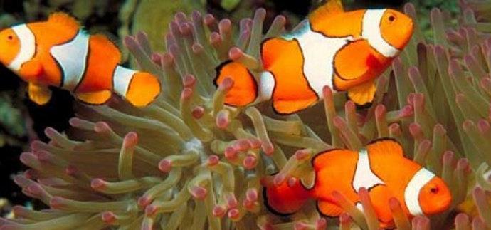 ikan Nemo Ocenallaris clownfish