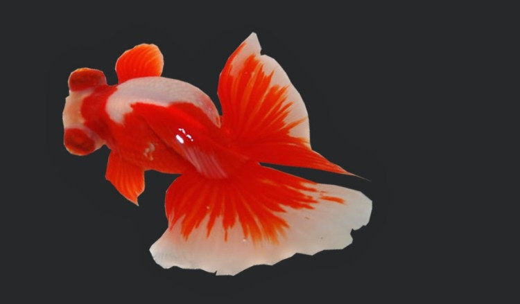 Ikan mas koki butterfly tail