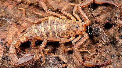 Walnut-Gulch-scorpion