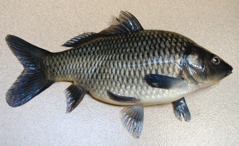 Unduh Kumpulan Koleksi Gambar Ikan Kakap HD Terpopuler
