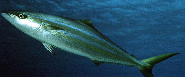 Ikan Sunglir atau Salem