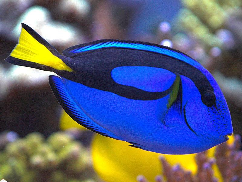 Ikan Botana Biru