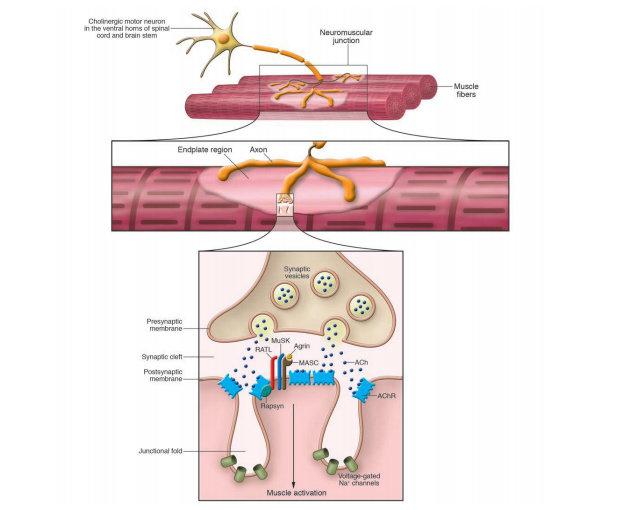 Anatomi Neuromuskular Junction
