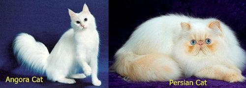 kucing angora dan persia