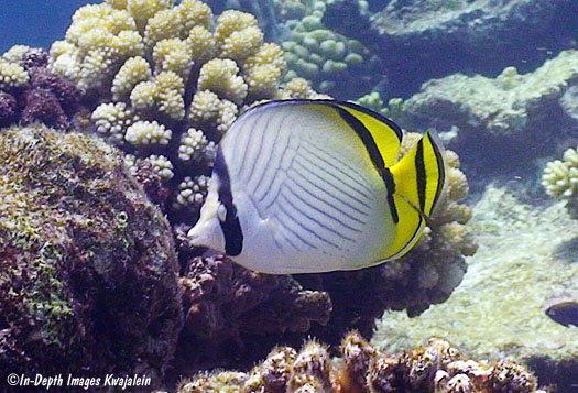 Vagabund Butterflyfish (Chaetodon vagabundus)