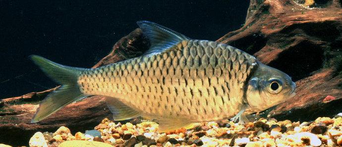 Ikan genggehek