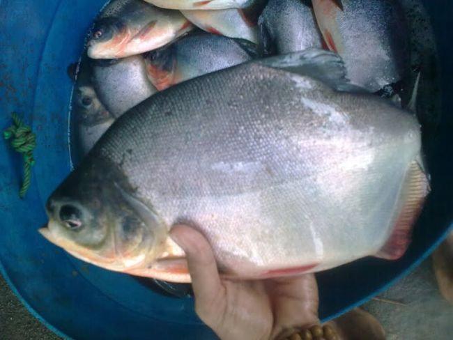 Ikan Bawal Bintang