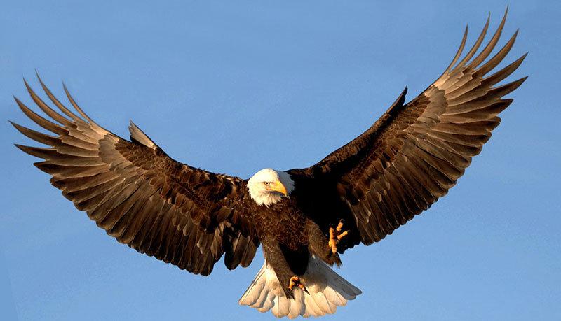 Download 77 Foto Gambar Burung Elang Lagi Terbang HD Terbaru Gratis