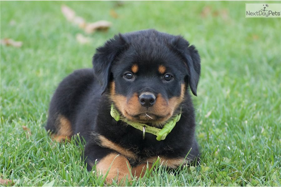 rottweiler-puppy-picture-8b626f01-c97d-4f55-9621-987bcc1f81bb