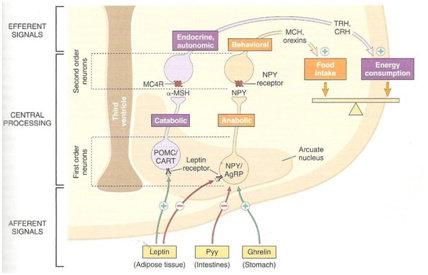 Jalur Neurohormonal pada Hipotalamus yang Mengatur Keseimbangan Energi