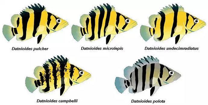 Ikan Datz atau Ikan Datnoid